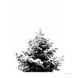 Minimal fir tree portrait