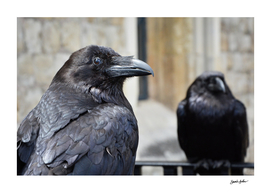 Ravens at the Tower of London