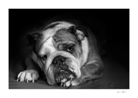 black and white portrait  sad philosopher english bulldog