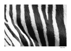 Mountain Zebra skin Pattern 1858