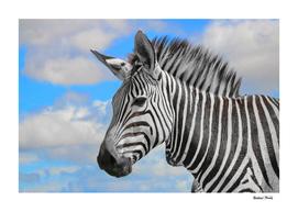 Hartmanns Mountain Zebra Portrait 8730 ck