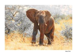 Elephant Bull 2722 CK