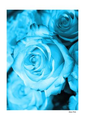 Rose light blue