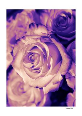 Rose pink purple