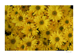Background of yellow chrysanthemum flowers in bloom
