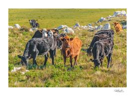Cows at Countryside, Maldonado Department, Uruguay