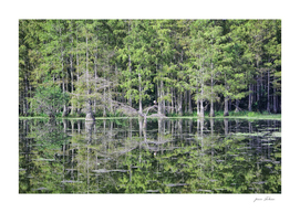 Mirror of a Cypress Swamp