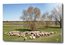 Sheep in Oderbruch