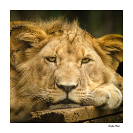 Face of Lioness