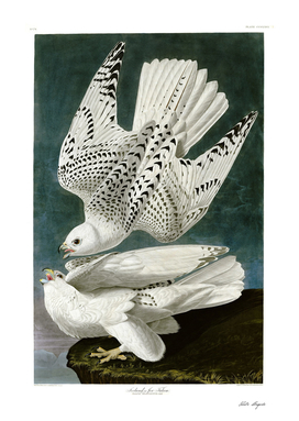 Painting by John James Audubon  Two white gyrfalcons