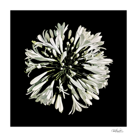 Top View White Stylized Radial Flower Isolated Photo