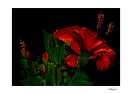 High Contrast Hibiscus Flower Photo Illustration