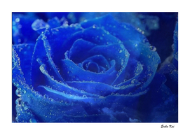 Blue Rose and Sky