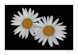 White flowers at night