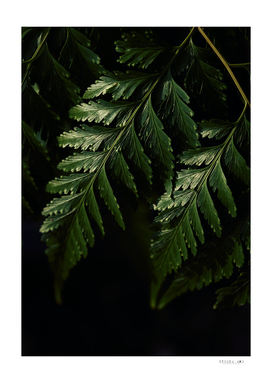 Close-up view of dark green fern leaves