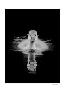Gosling in monochrome