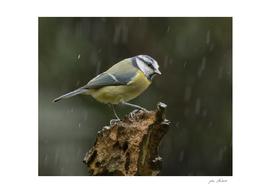 Blue tit braving the rain