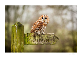 Owl on sign post