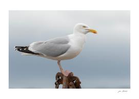 Conwy Gull