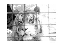 Caged tiger at the zoo - sadness