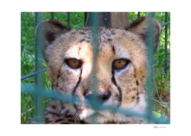 Leopard in a cage at the zoo in spring