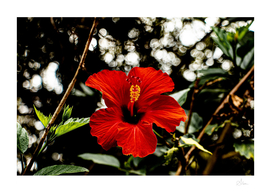 Original colour photo, close-up of a red hibiscus flower