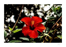 Original colour photo, close-up of a red hibiscus flower