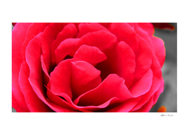 Petals of a red rose - love
