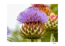 Close up of thistle plant