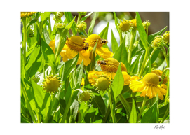 Honey bee pollinating over sunflower
