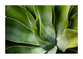 Closeup of big agave plant