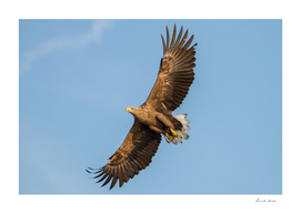 White-Tailed Eagle From Below