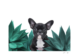 agave_tuerkis_frenchie