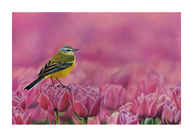 Yellow wagtail on pink tulips