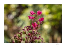 Pink flower chestnut