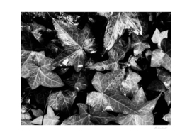 Closeup Ivy Leaves Texture In Black And White