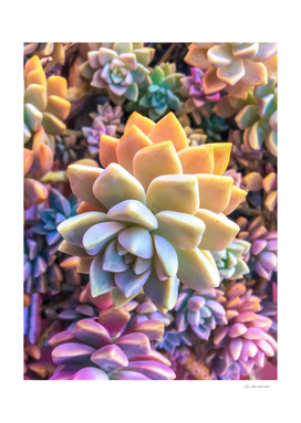 closeup green and pink succulent plant