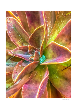 closeup green and pink succulent plant with water drop