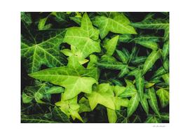 green ivy leaves garden background