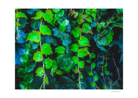 green ivy leaves texture background