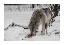 female wolf on a background of snow