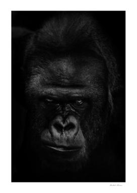 menacing muzzle of the ferocious dominant gorilla male