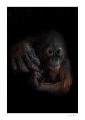 An optimistic and curious orangutan cub
