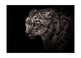 portrait of a snow leopard with a clear look