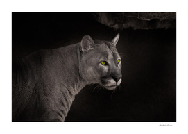 Powerful beautiful cougar with green eyes