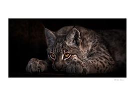 , a beautiful lynx on a black