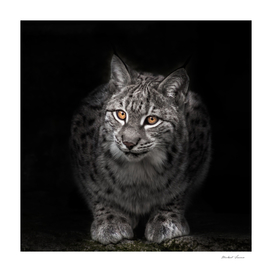 lynx in the night darkness at night, bright eyes glow