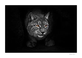strict and formidable in the cave. lynx in the night