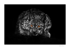 Lynx stares out of the darkness.