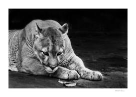 Powerful big american wild puma cat (cougar)